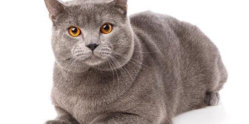Mèo Pháp Chartreux- Sát thủ của các loài gặm nhấm