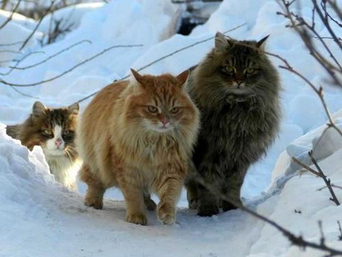 mèo siberia thích ăn gì