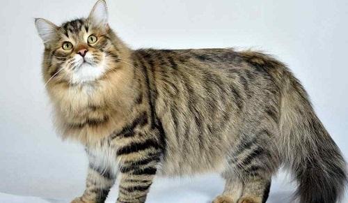 bán mèo siberian