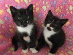 Mèo Tuxedo là mèo gì? GIÁ bao nhiêu tiền? MUA ở đâu Hà Nội