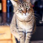 Mèo Mướp (Mèo Vằn) MÀU gì? Mèo Mướp GÍA bao nhiêu tiền