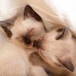 Mèo Xiêm Thái Lan- Nét đẹp nền tảng của mọi loài mèo trên thế giới