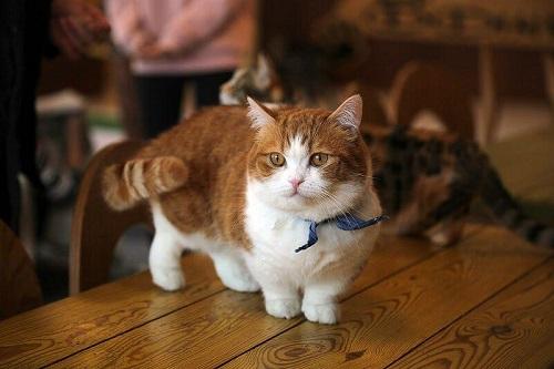 mèo munchkin