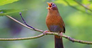 Chim Họa Mi là loài chim gì? Cách chăm sóc chim Họa Mi như thế nào?