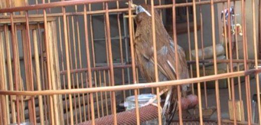 Cách chăm sóc chim Họa mi khi thay lông