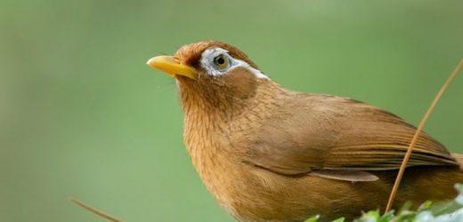 Cách chăm sóc chim Họa Mi sinh sản