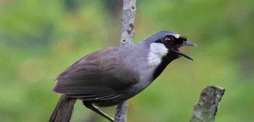 Cách thuần dưỡng chim khướu