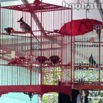 Thú chơi 'bậc quân vương' chim cảnh ở Việt Nam