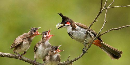 Kỹ thuật nuôi chim chào mào sinh sản