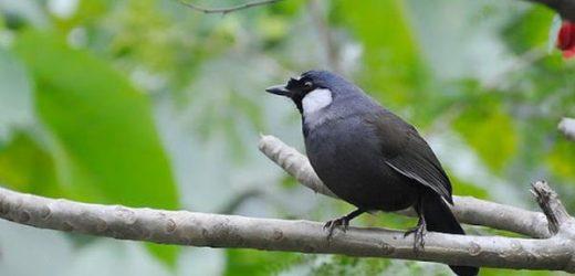 Điều người chơi chim cảnh cần biết trước khi mua một chú Chim Khướu