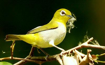 Chơi và nuôi chim vành khuyên