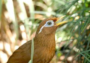Phòng trị một số bệnh thường gặp khi nuôi chim cảnh Họa Mi