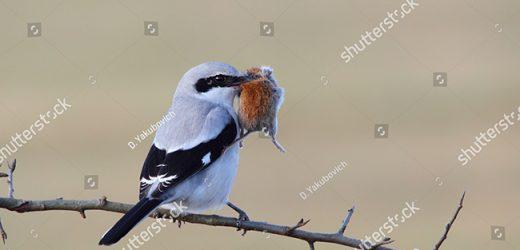 Loài chim nhỏ nhưng có võ mang tên Bách Thanh