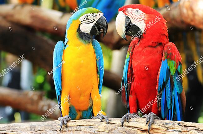 Đặc điểm và lưu ý khi nuôi Vẹt Macaw Blue and Gold