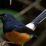 Chim chích chòe lửa: Kỹ thuật nuôi và chăm sóc