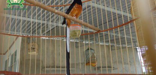 Cách nuôi chích chòe lửa – Tuyệt chiêu cho chim dáng đẹp, căng lửa