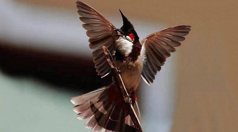 Kỹ thuật nuôi chim chào mào tương đối khó. Ảnh minh họa