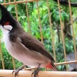 Hàng loạt tật xấu của chim chào mào và cách khắc phục hiệu quả
