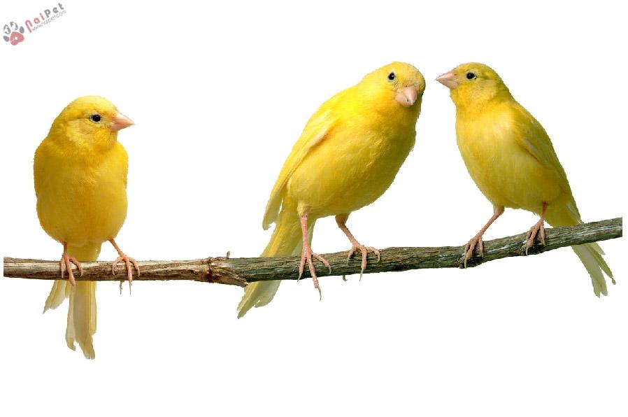 Thức ăn cho chim yến để hót hay