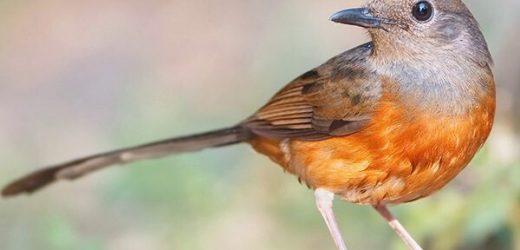 Chim chích chòe lửa ăn gì? Cách nuôi chích chòe lửa hót hay nhất