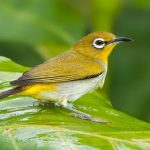Chim vành khuyên – Thú chơi tao nhã của người Việt