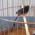 Kỹ thuật nuôi chim Chích chòe lửa hót thánh thót suốt ngày