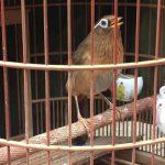 Kỹ thuật nuôi và chăm sóc chim Họa Mi hót cực hay
