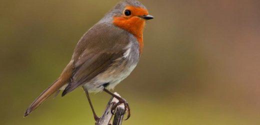 Cách chăm sóc chim Oanh