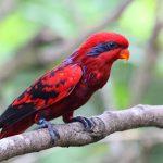 Tìm hiểu tổng quan về loài vẹt Lory đỏ