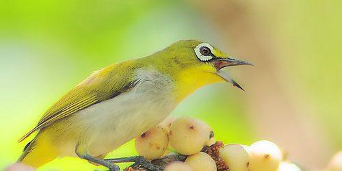 Cách chăm sóc chim vành khuyên thay lông